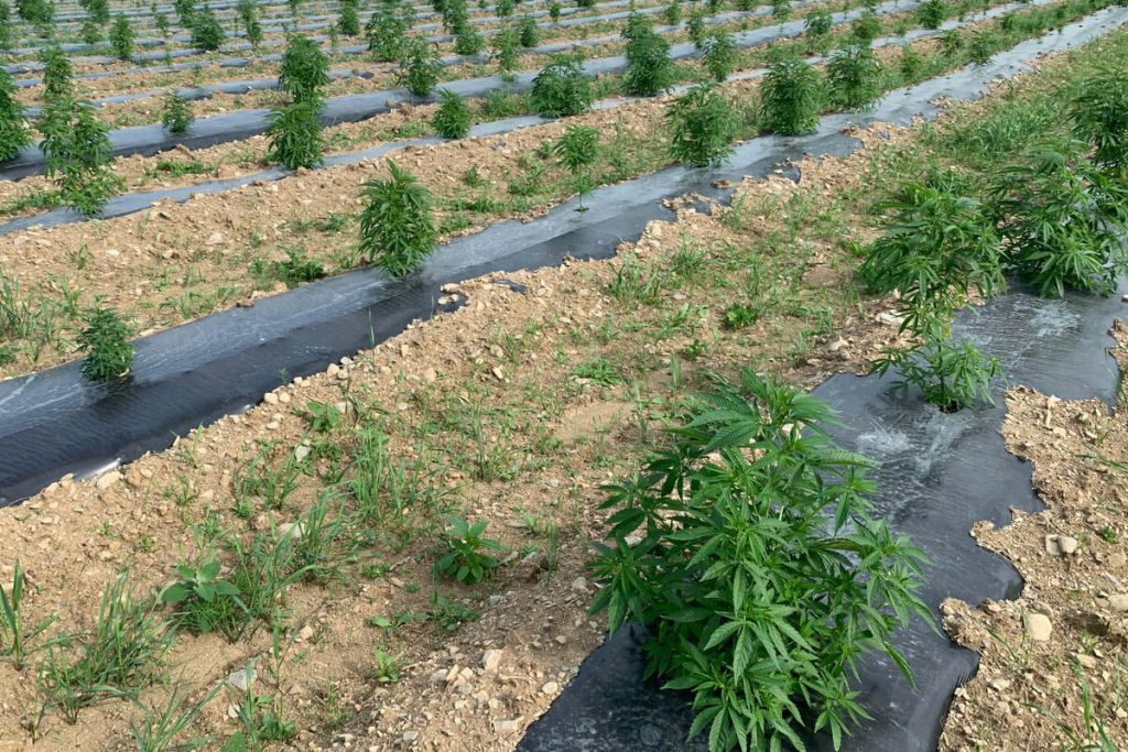 Using Plastic Mulch For Higher Cannabis Yields And Tastier Buds