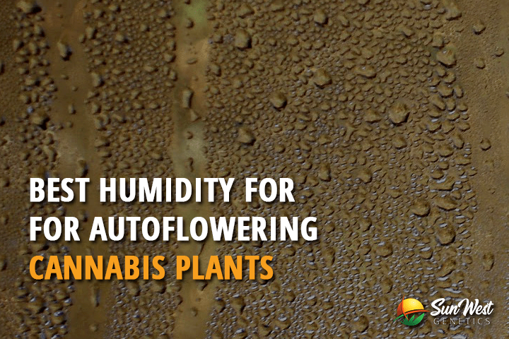 Best Humidity for Autoflowering Cannabis Plants