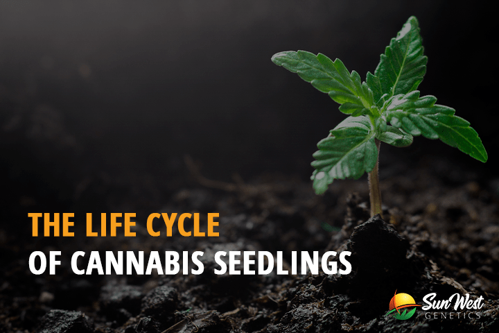the life cycle of cannabis seedlings