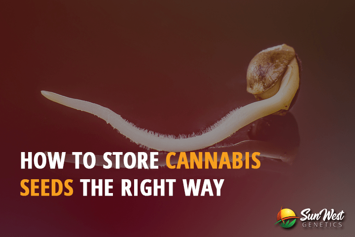 How to Store Cannabis Seeds the Right Way