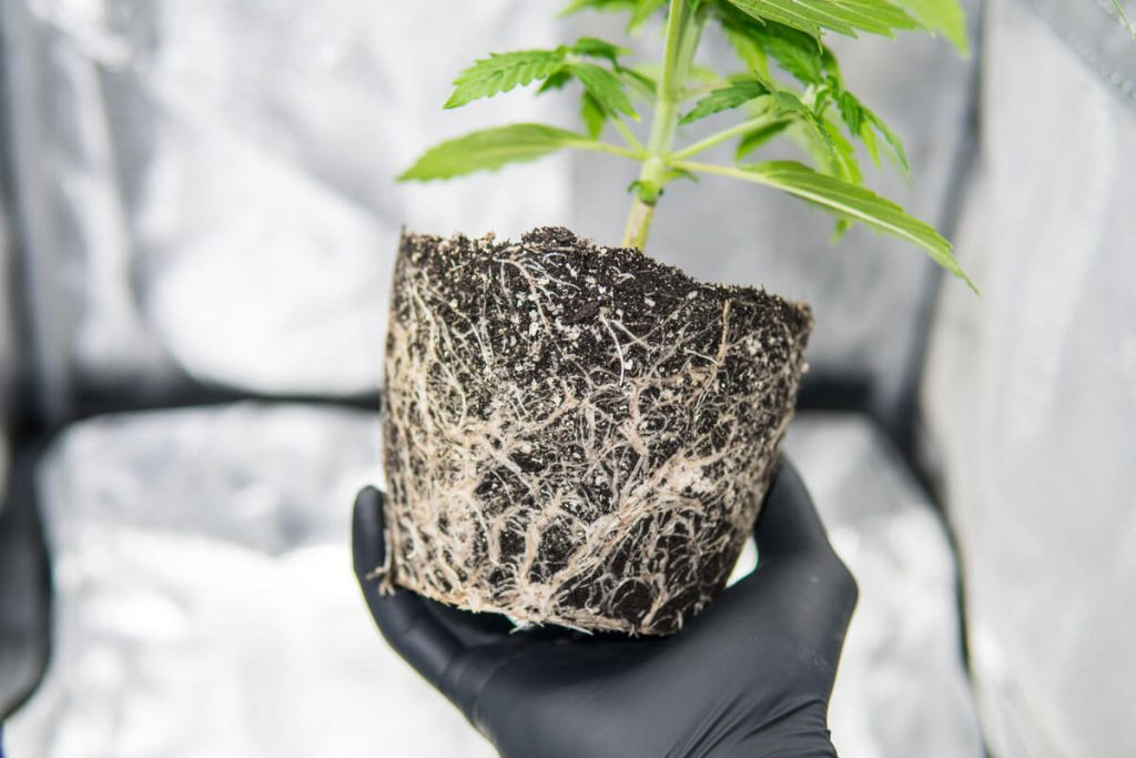 Grow Healthy Cannabis Roots To Get Bigger Yields