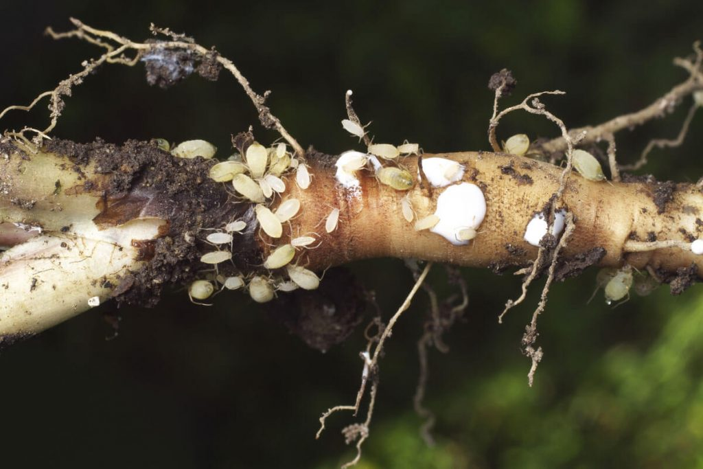 How To Cure Root Aphids In Your Cannabis Plants