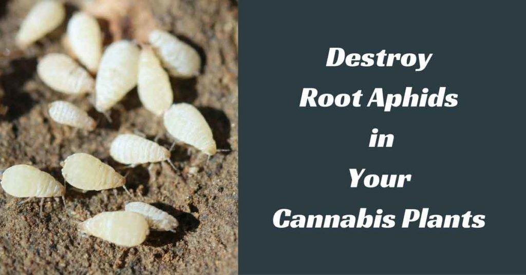 kill root aphids
