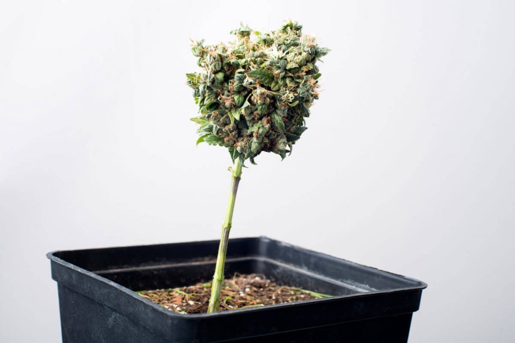 Right Pot Size For Autoflowering Cannabis