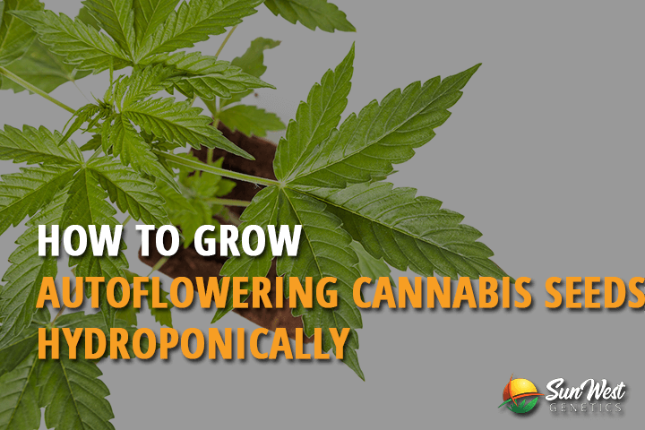 how to grow autoflowering cannabis seeds hydroponically