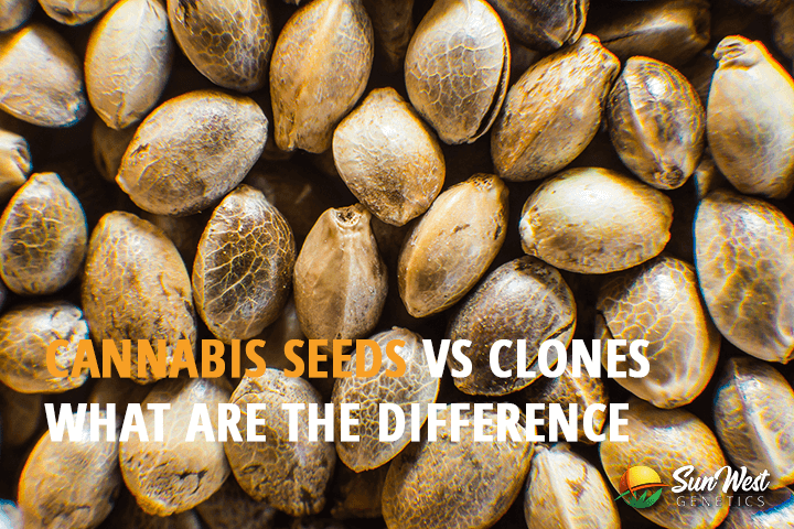 cannabis seeds vs clones what are the difference