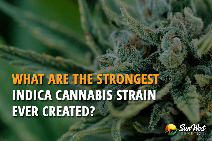 what are the strongest indica cannabis strains ever created