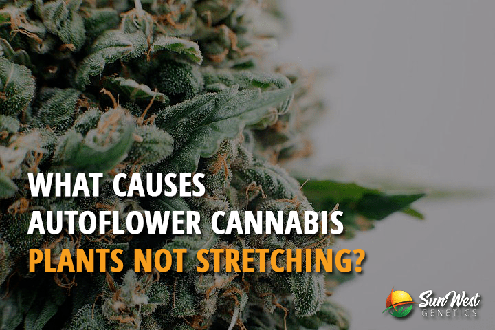 what causes autoflower cannabis plants not stretching