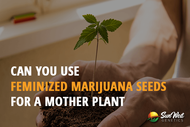 can you use feminized marijuana seeds for a mother plant