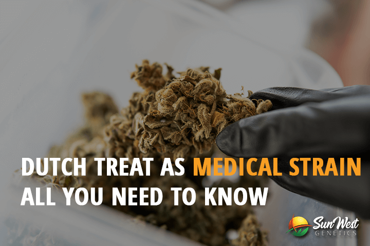 dutch treat as medical strain all you need to know