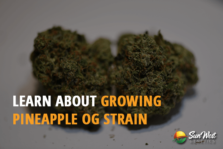 learn about growing pineapple og strain