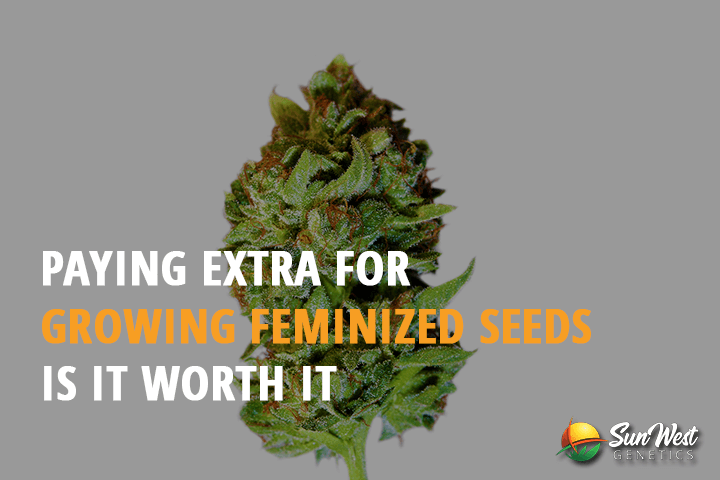 paying extra for growing feminized seeds is it worth it