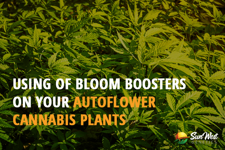 using of bloom boosters on your autoflower cannabis plants