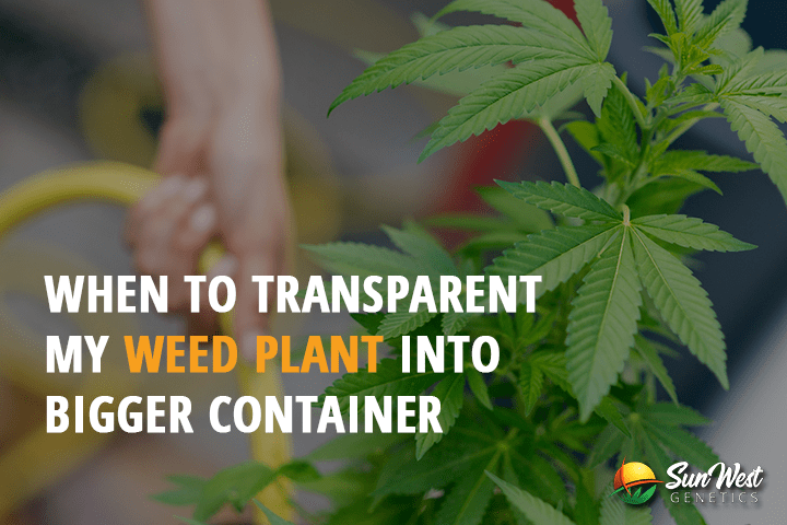 transplant weed plants to bigger container