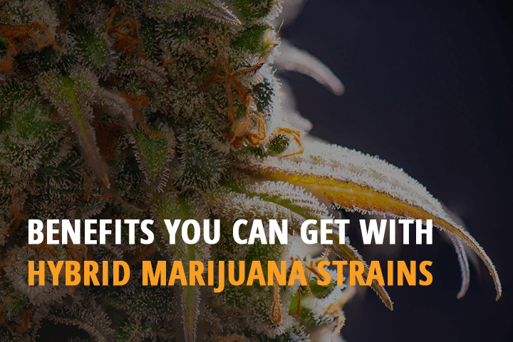 benefits you can get with hybrid marijuana strains