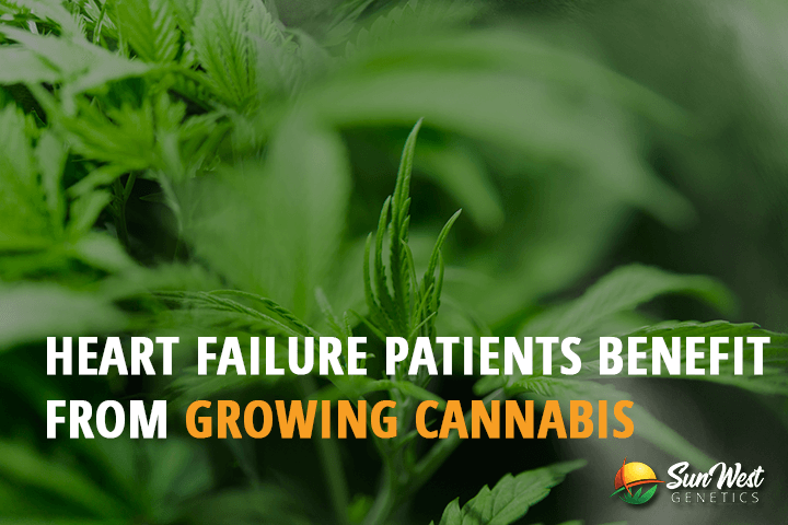 can heart failure patients benefit from growing cannabis