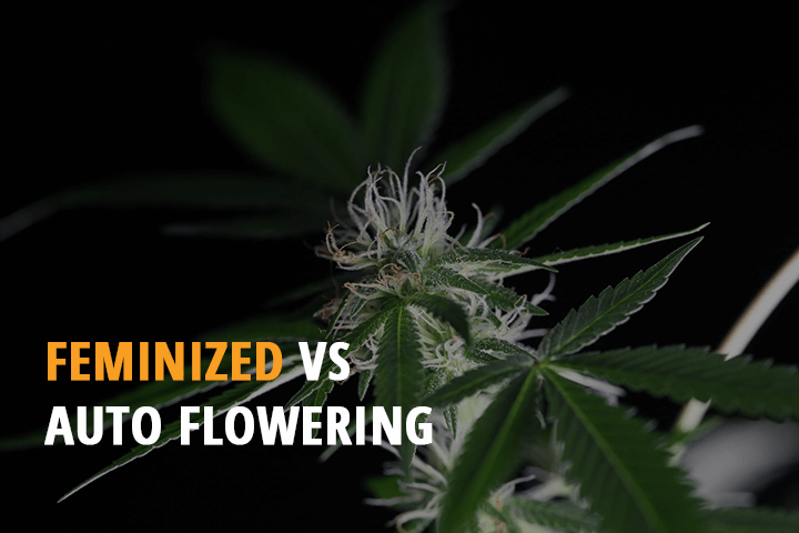 pros and cons detailed information feminized vs autoflowering seeds