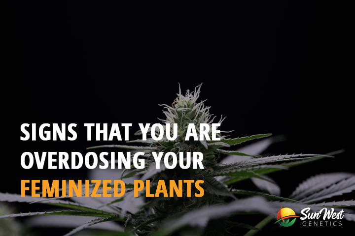 signs that you are overdosing your feminized plants