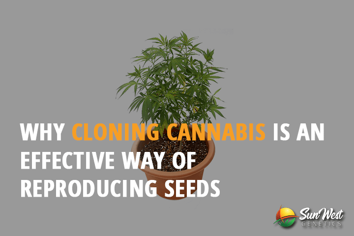 why cloning cannabis is an effective way of reproducing seeds