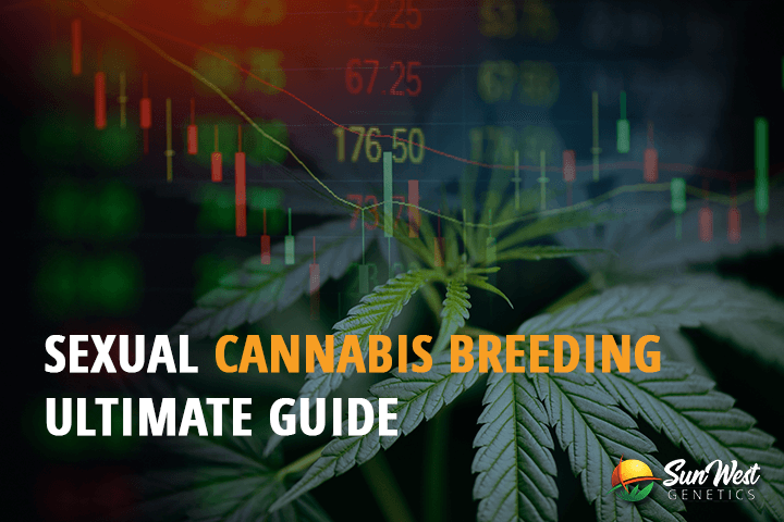 sexual cannabis breeding ultimate guide