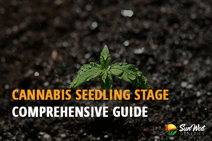 cannabis seedling stage comprehensive guide