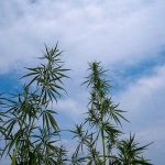 Growing Schedule For Outdoor Cannabis Plants 1