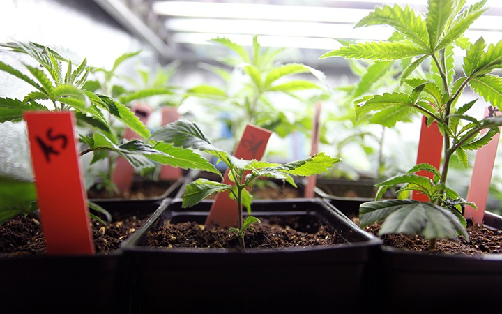 how long to grow weed