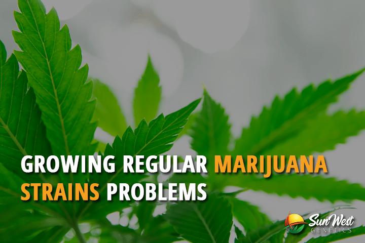 Growing Regular Marijuana Strains Problems
