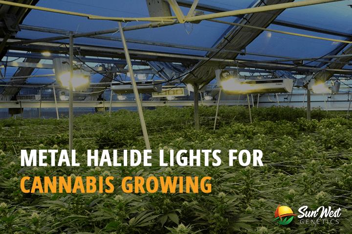 Metal Halide Grow Lights for Cannabis Growing