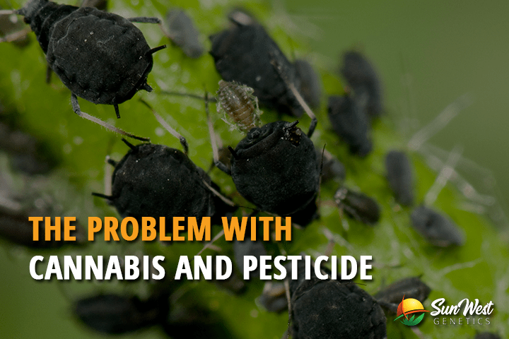 The Problem with Cannabis and Pesticide