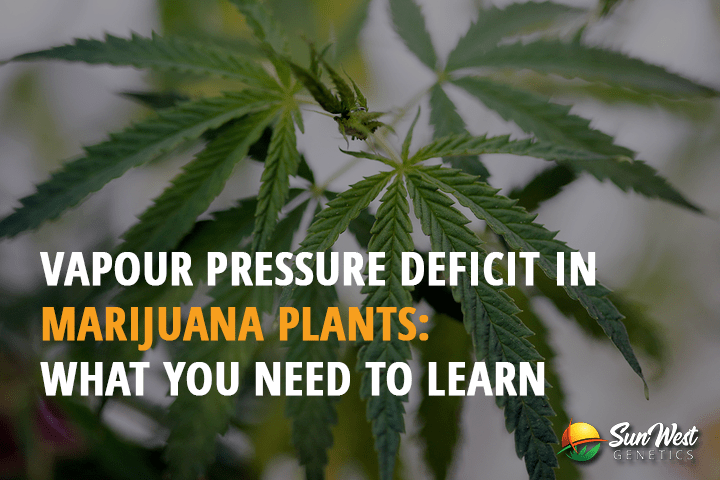 Vapour Pressure Deficit in Marijuana Plants: What you need to Learn