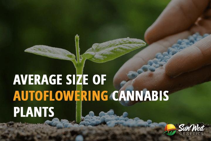 Average Size of Autoflowering Cannabis Plants