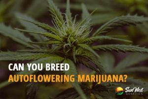 Can you Breed Autoflowering Marijuana?