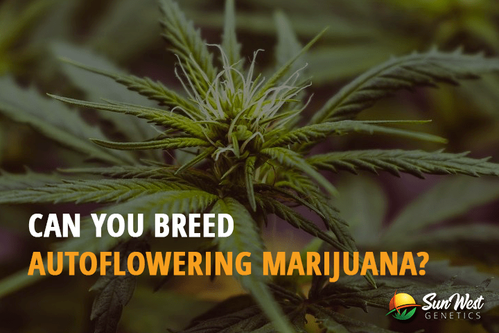 Can you Breed Autoflowering Marijuana?