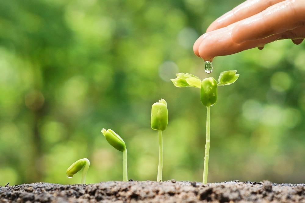 marijuana seeds germinating