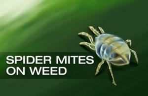 common cannabis pests