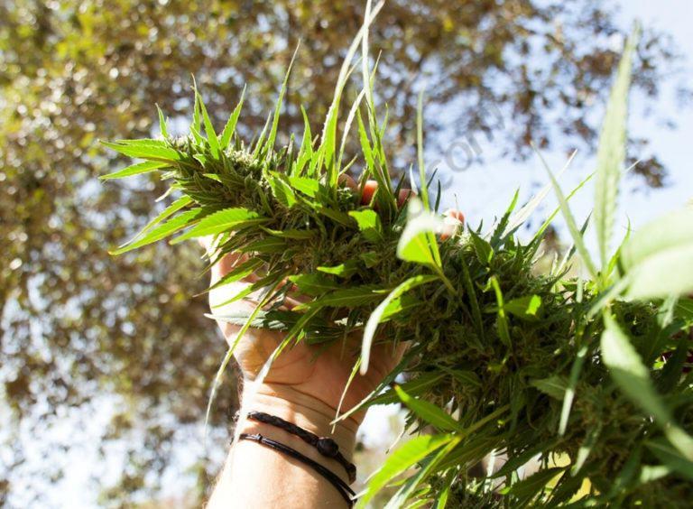 guerrilla marijuana growing method