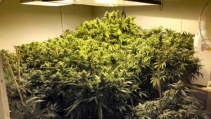 how to find out what cannabis strain your growing