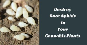 root aphids cannabis