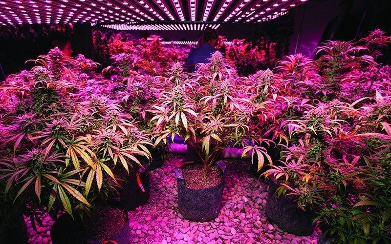 1000 watt cannabis grow light