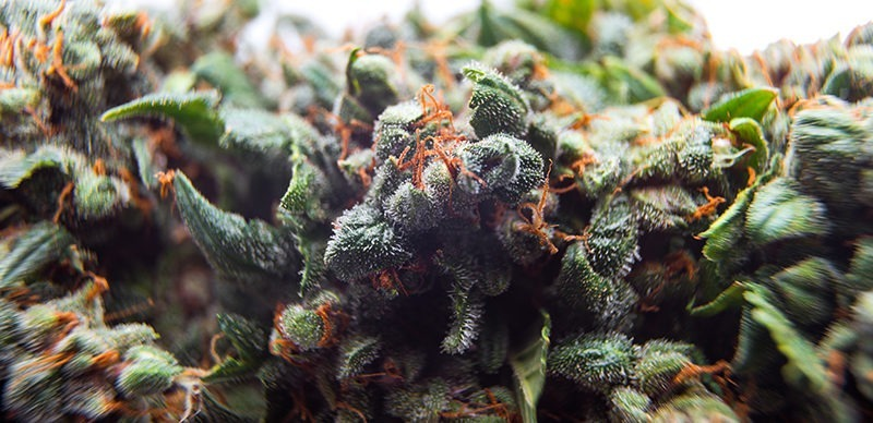 autoflowering cannabis plant