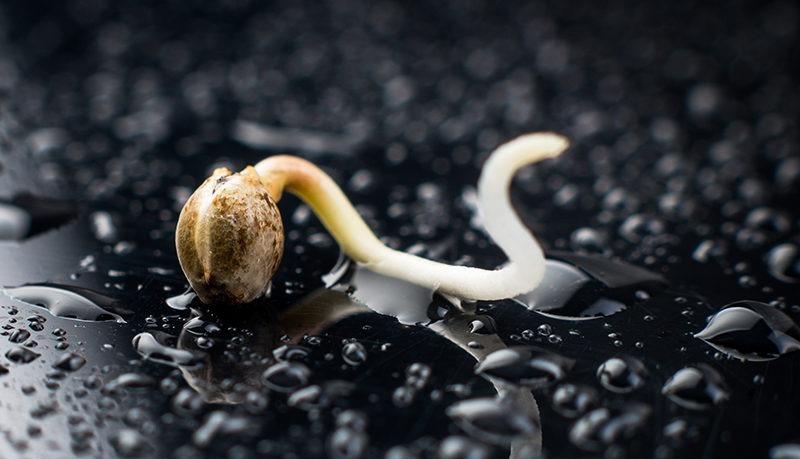 germinate cannabis seeds dark