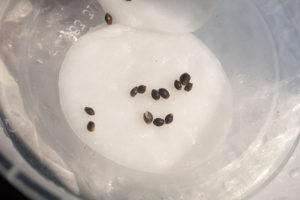 germinating cannabis seeds