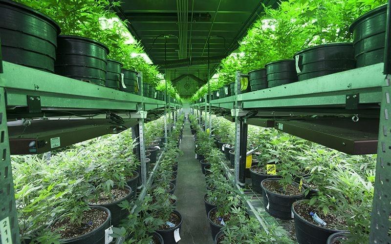 profitable business growing cannabis