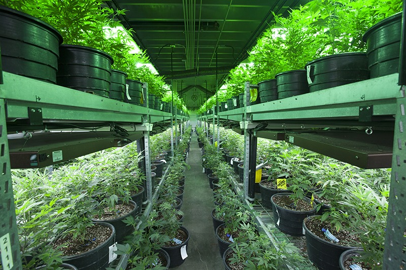 profitable business growing cannabis