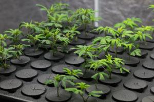 cutting cannabis clones