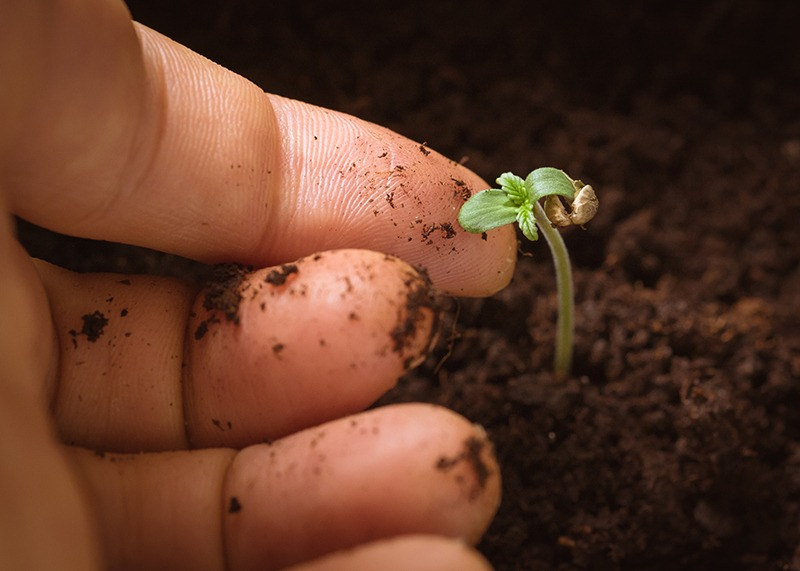 After Germinating Cannabis Seeds