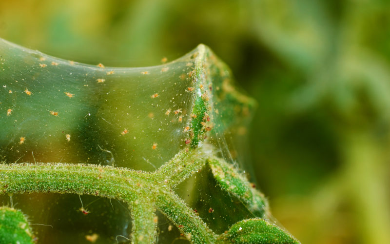 Are Spider Mites a Threat to my Cannabis Plants?