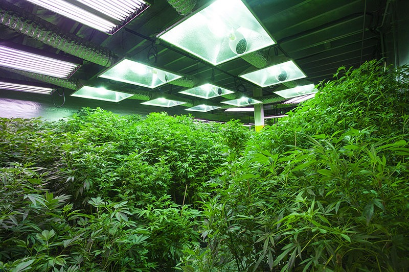 marijuana grow room light