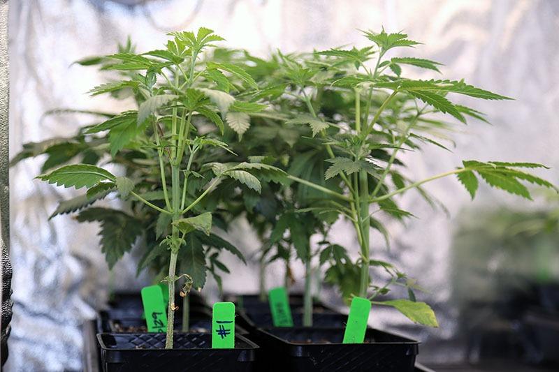 marijuana in grow tent